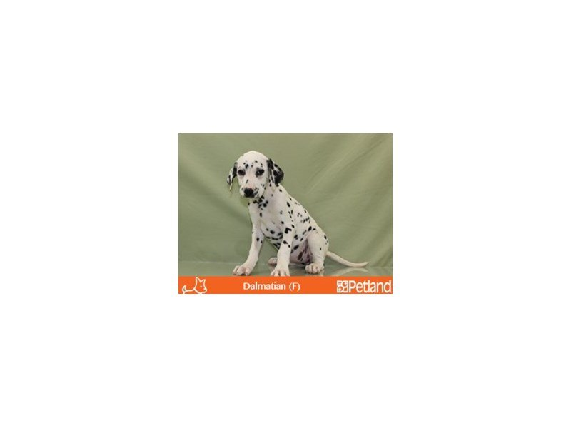Dalmatian-Female-White and Black-1812954-Petland