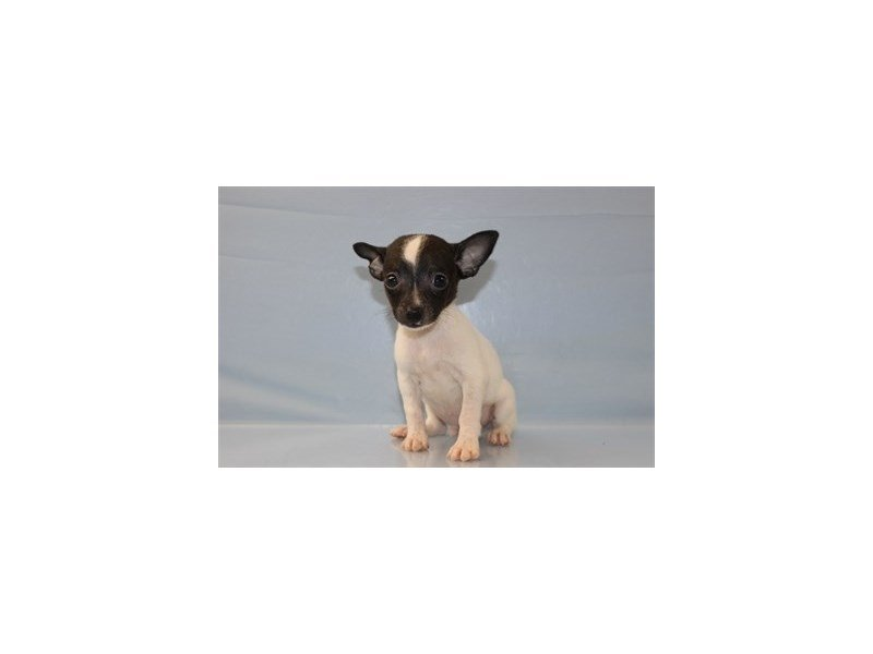 Rat Terrier-Male-White and Black-1844826-Petland