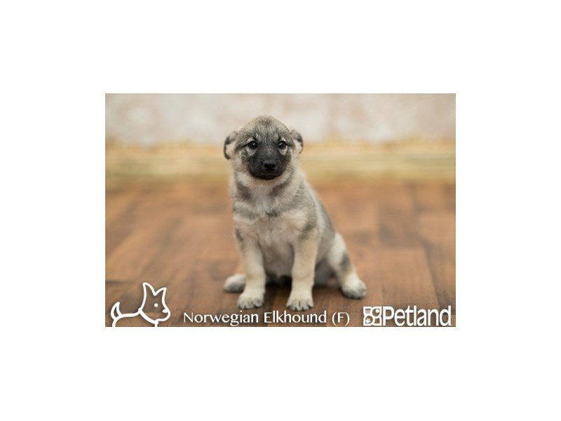 Norwegian Elkhound-Female-GRAY-1854915-Petland