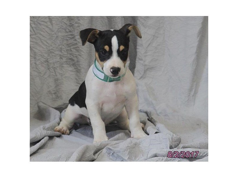 Rat Terrier-Male-Tri-Colored-1862709-Petland