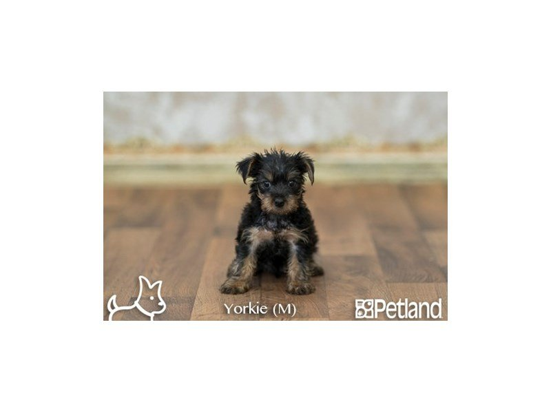 Yorkie Dog Food Premium