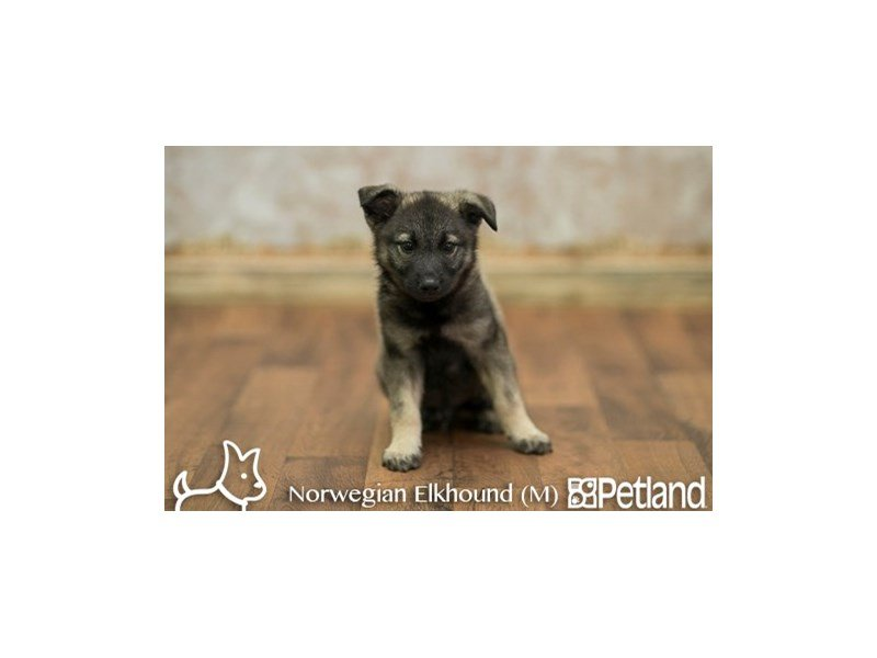 Norwegian Elkhound-Male-GRAY-1888458-Petland