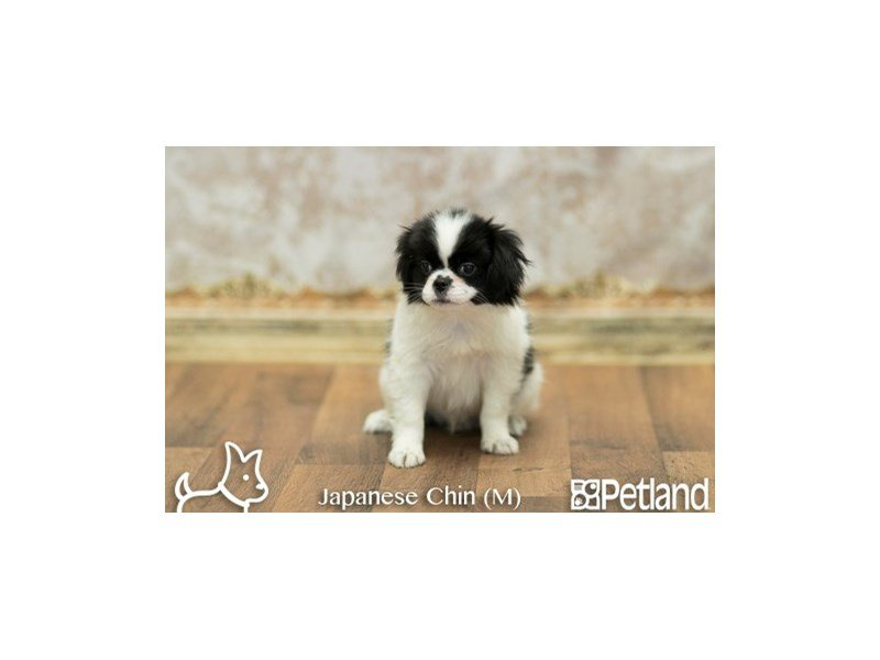 Japanese Chin-Male-Black and White-1921919-Petland