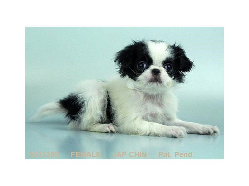 Japanese Chin-Female-BLK & WH-2015399-Petland
