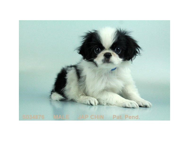 Japanese Chin-Male-BLK & WH-2030273-Petland