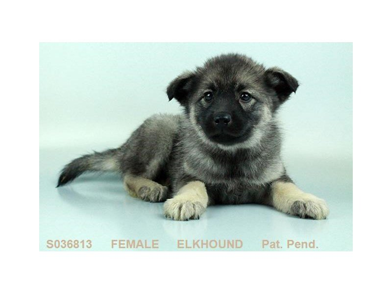 Norwegian Elkhound-Female-BLK & SLVR-2058438-Petland