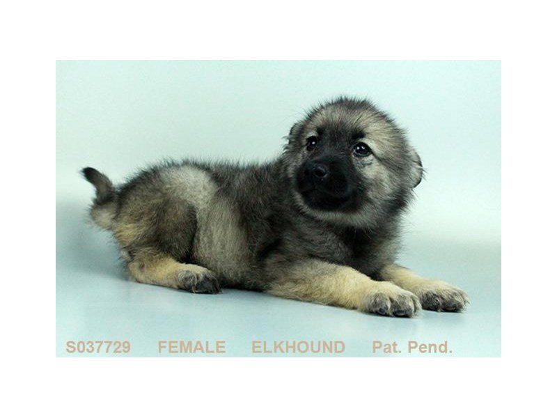 Norwegian Elkhound-Female-SLVR & BLK-2063573-Petland