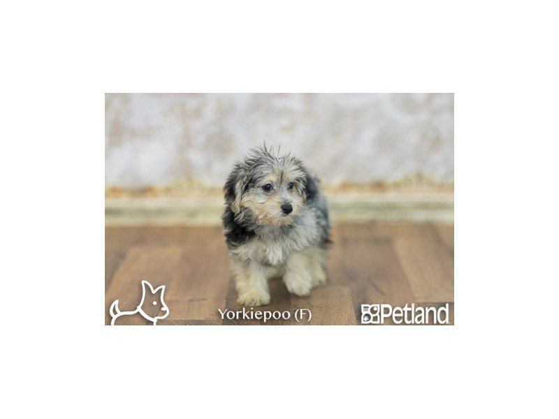 Yorkie Poo Puppies Dog Breed Info Petland Difference Columbus Ohio