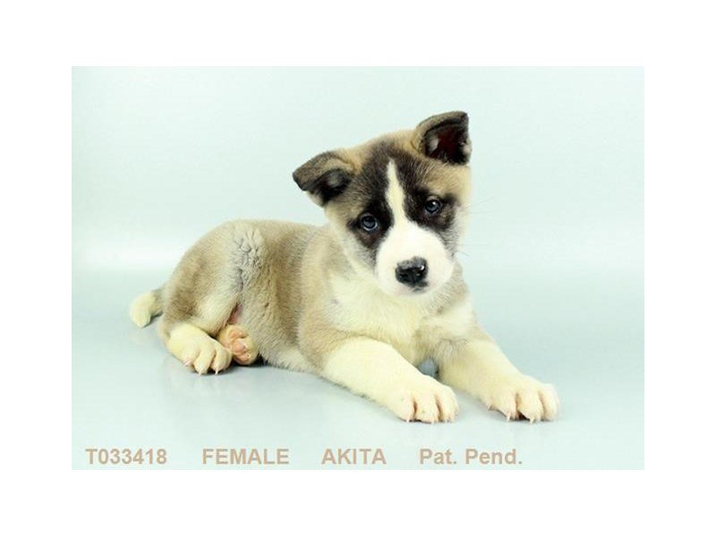 Akita-Female-FWN BL OVRLY:WH MKGS-2291510-Petland