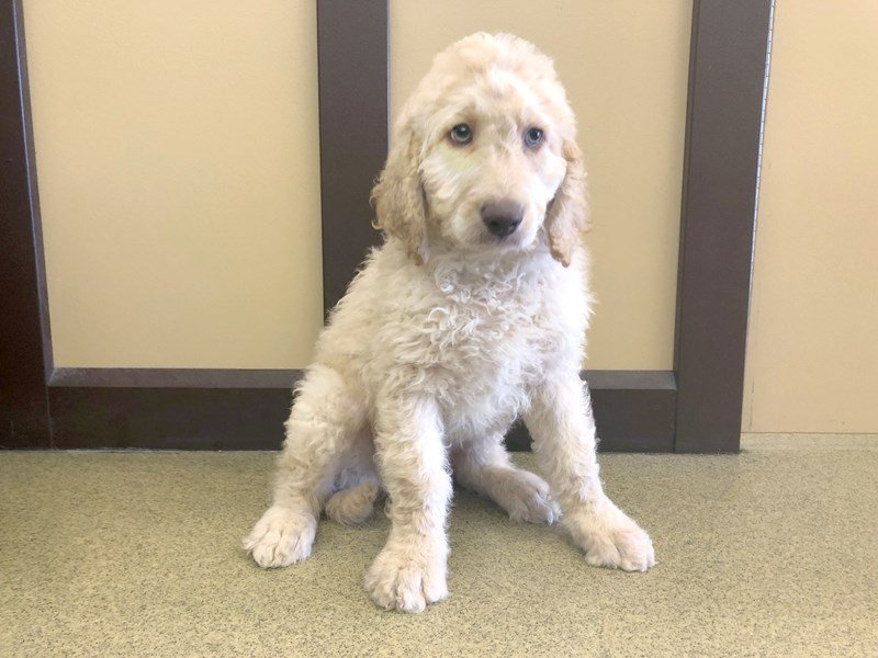 Labradoodle-Male-Cream-2345789-Petland