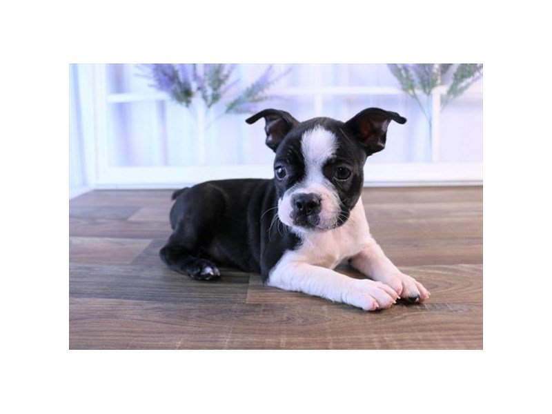 Boston Terrier Breed Information - The Petland Difference