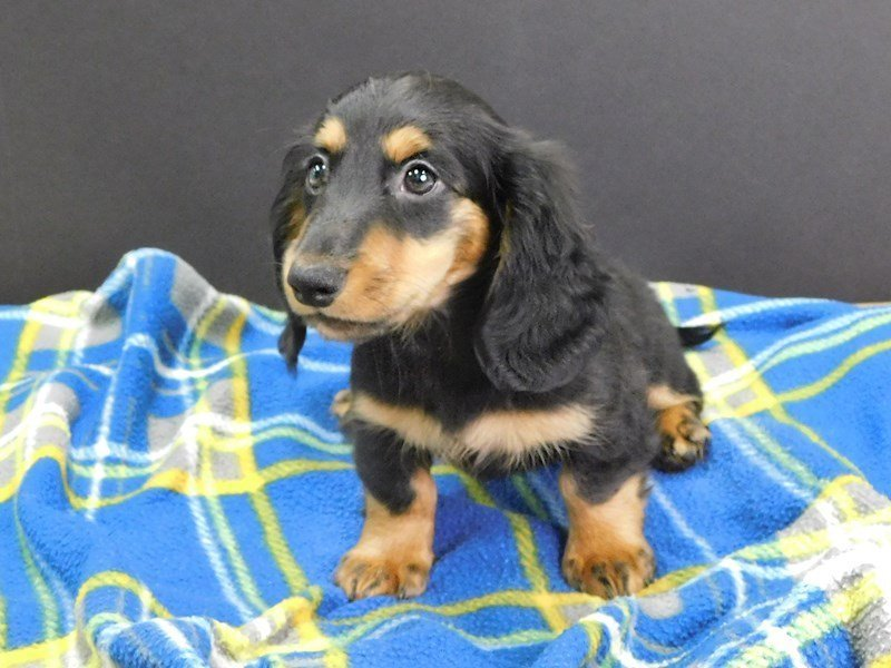 Dachshund-Female-Black and Tan-2445810-Petland