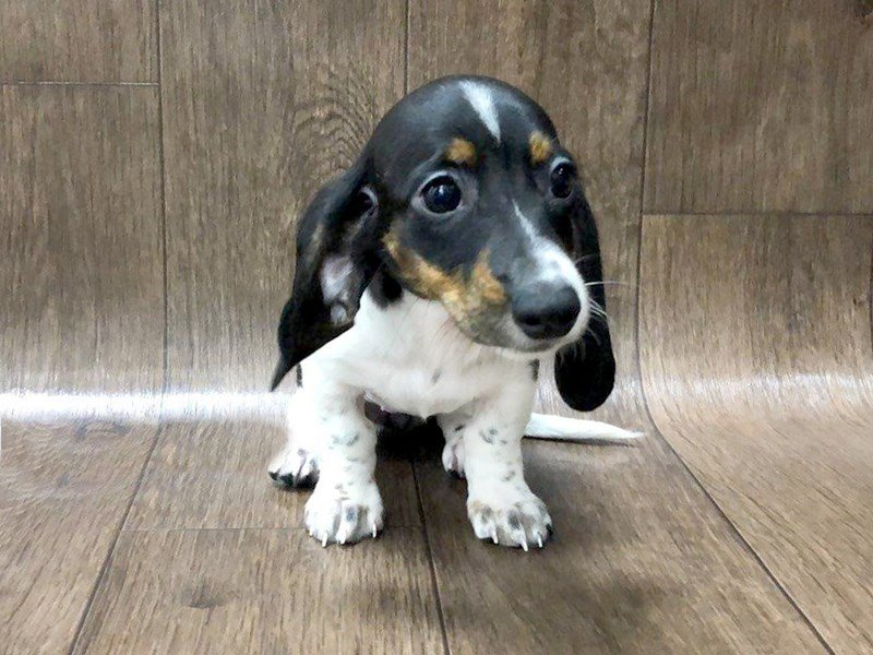 Dachshund-Female-Black and White-2446712-Petland