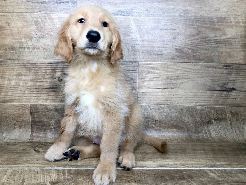 Golden Retriever-Female-Rustic Gold-2453587-Petland