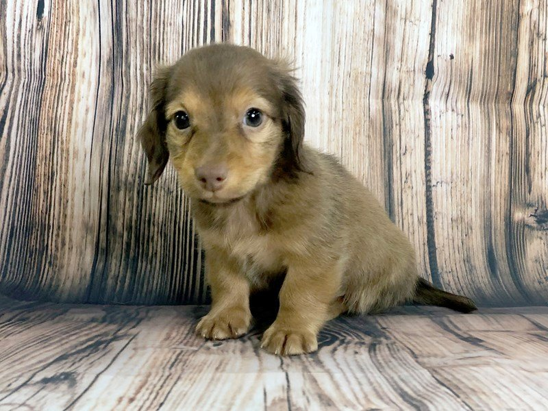 Dachshund-Male-Red-2446003-Petland