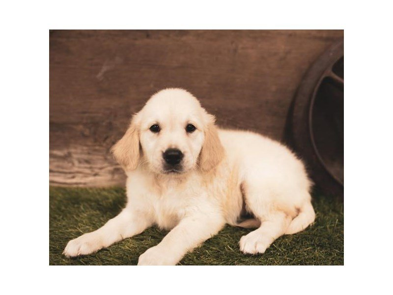 Golden Retriever-Female-Light Golden-2457580-Petland