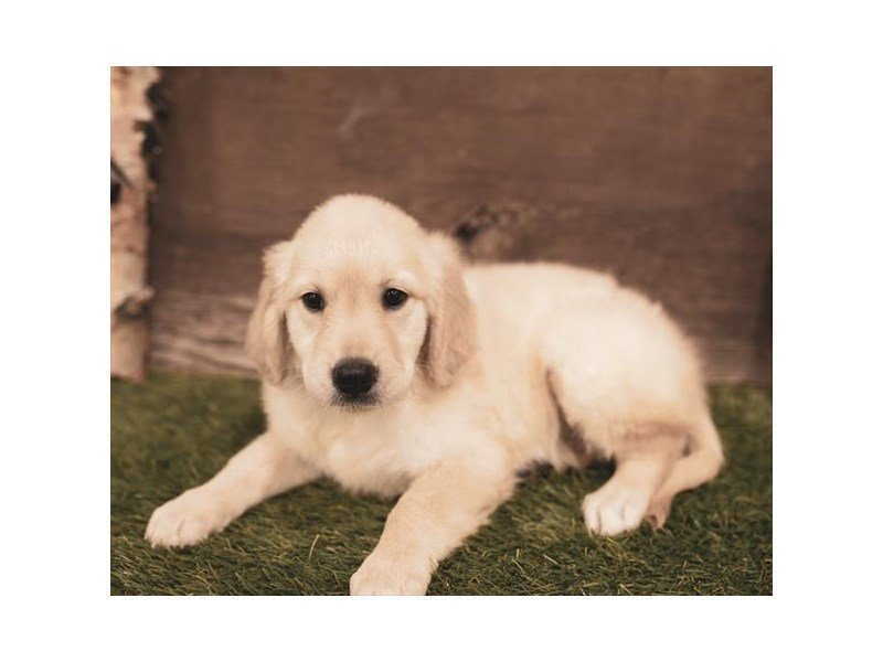 Golden Retriever-Female-Light Golden-2459253-Petland