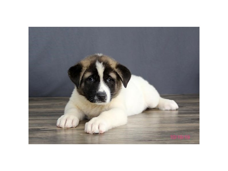Akita-Female-White / Brown-2504401-Petland