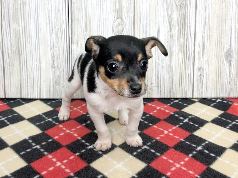 Rat Terrier-Female-Tri-Colored-2714114-Petland