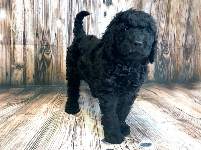 Labradoodle-Male-Black-2727586-Petland